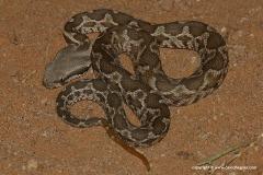 Macrovipera mauritanica