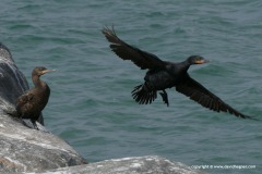 Phalacrocorax capensis