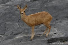 Oreotragus oreotragus