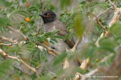 Pocnonotus nigricans
