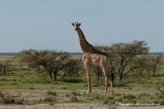 Giraffa giraffa angolensis