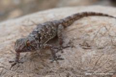 Chondrodactylus bibronii