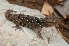Chondrodactylus turneri