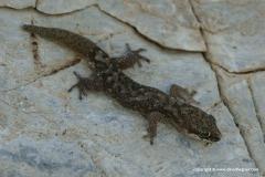 Pachydactylus punctatus