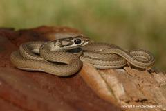 Psammophis notostictus