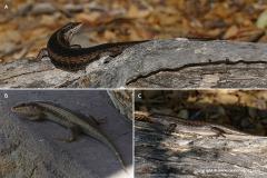 Trachylepis spilogaster