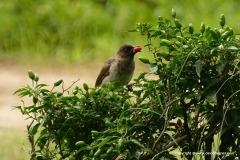 Pycnonotus sp.