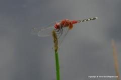 Odonata sp.