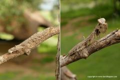 Mantidae sp.