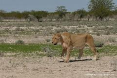Panthera leo bleyenberghi