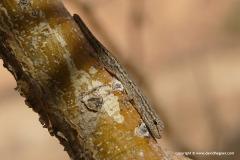 Lygodactylus bradfieldi