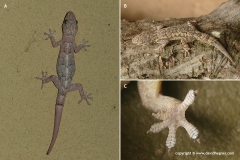 Hemidactylus longicephalus