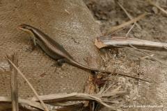 Trachylepis striata wahlbergi