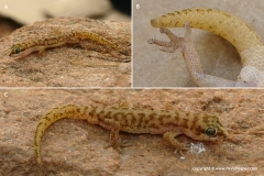 Pachydactylus bicolor