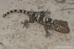 Trachydactylus spatalurus