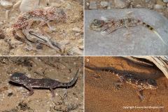 Stenodactylus leptocosymbotes