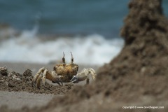 Crustacea sp.
