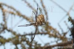 Araneidae sp.