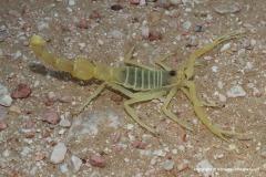 Apistobuthus pterygocercus