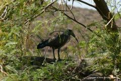 Threskiornis aethiopicus