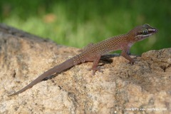 Pachydactylus atorquatus