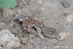 Ptenopus garrulus