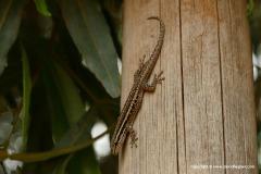 Lygodactylus capensis
