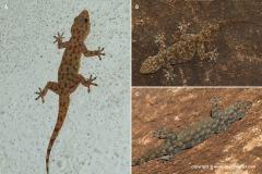 Hemidactylus barodanus
