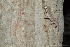 Hemidactylus sinaitus
