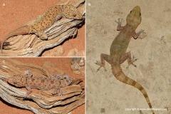 Hemidactylus macropholis