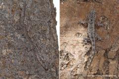 Hemidactylus smithi