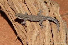 Lygodactylus somalicus