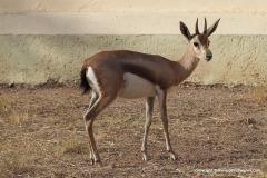 Gazella spekei