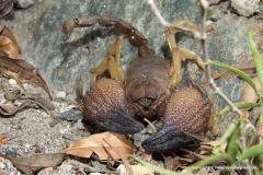 Pandinus phillipsii