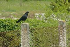 Corvus corone corone