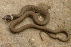 Natrix astreptophora
