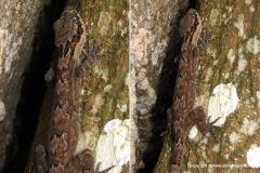 Cyrtodactylus ramboda