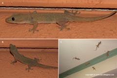 Hemidactylus frenatus