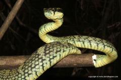Trimeresurus trigonocephalus