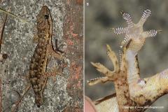 Hemidactylus bowringi