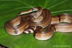 Oligodon ornatus