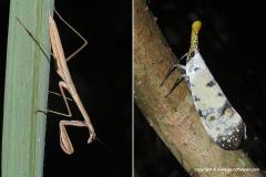 Mantidae sp. / Pyrops sp.