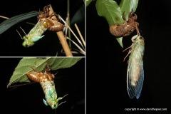 Cicadoidea sp.