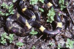 Lycodon laoensis