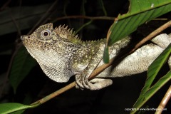 Gonocephalus chamaeleontinus