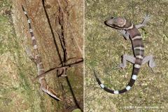 Cyrtodactylus tiomanensis
