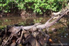 Varanus salvator