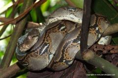 Python reticulatus