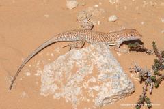 Acanthodactylus scutellatus