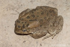 Amietophrynus mauritanicus
